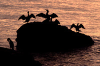 Cormorans Silhouette Sunrise at Narragansett Beach