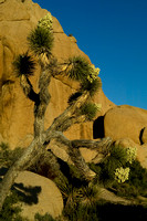 Joshua Tree Jumbo Rocks 4