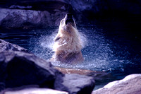 Baby Polar Bear in Water at Roger Williams Park Zoo