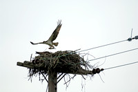 Adult Osprey Delivers Fish for its Family