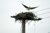 Adsult Osprey Leaveing Nest as Mate watches